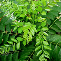 Green curry leaf Oleoresin